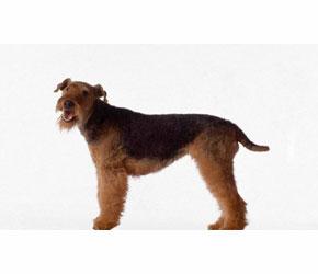 Airedale Terrier Köpekleri