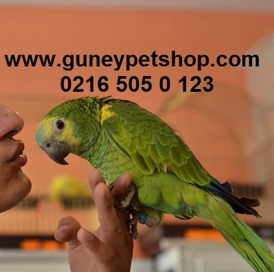 Bebek Mavi Alınlı Amazon Papağanı