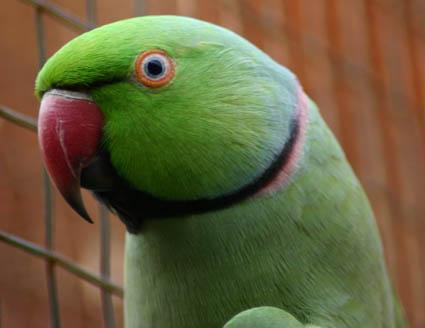 Büyük İskender Papağanı (Alexander Parrot)