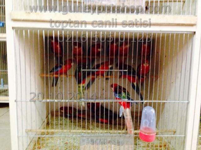 Eastern Rosella Papağanı