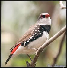 Elmas İspinozu (DIAMOND FIRETAIL FINCH)