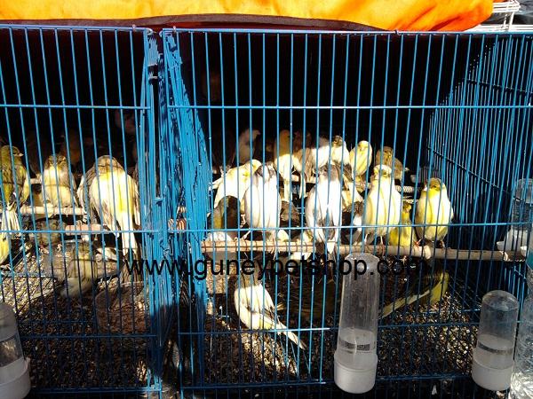 Gloster Kanarya (Gloster Canaries)