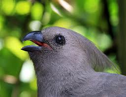 Grey touraco-Gri Turaco