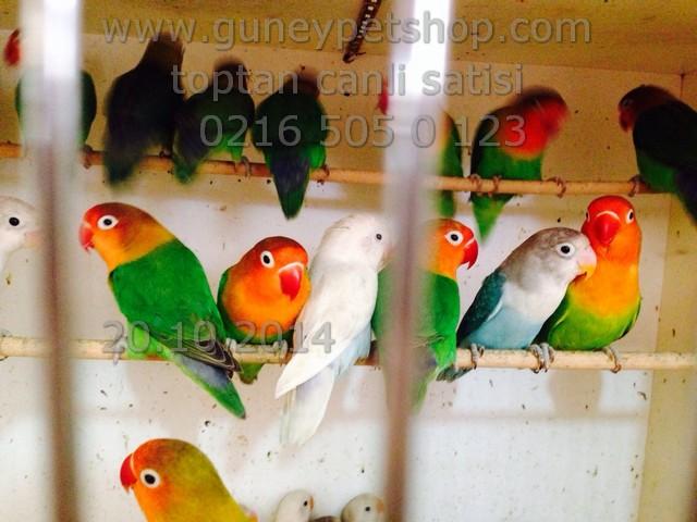 İthal Cennet Papağanı