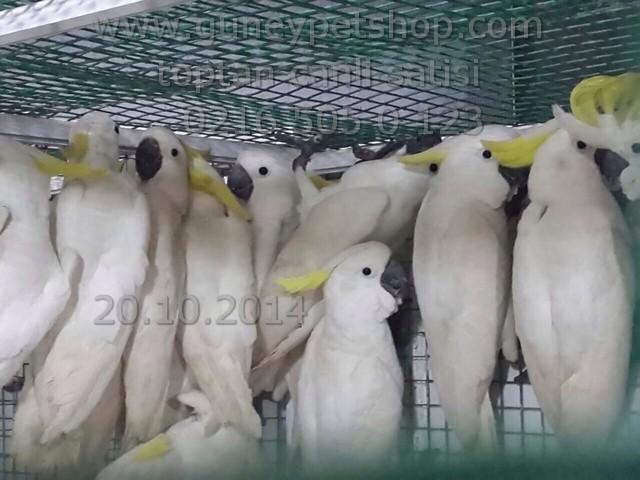 İthal Kakadu ( Cacadu ) Papağanı