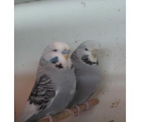 İthal Muhabbet Kuşu Resimleri