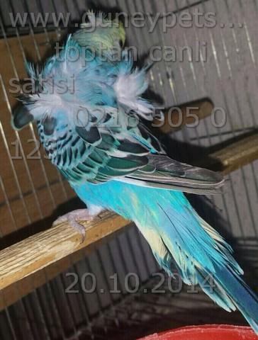 İthal Tepeli Muhabbet kuşu