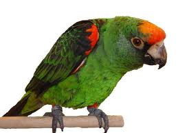 Jardin Papağanı