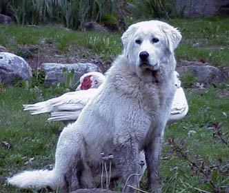 Kangal (Akbaş) Türk Çoban Köpeği