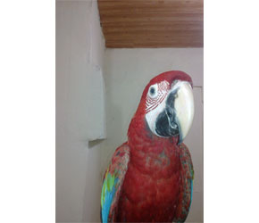 Kırmızı Ara Papağanı