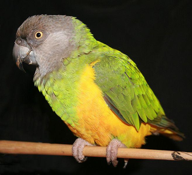 Senegal Papağanı