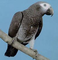 Timneh Papağanı (African Grey Timneh Parrot)