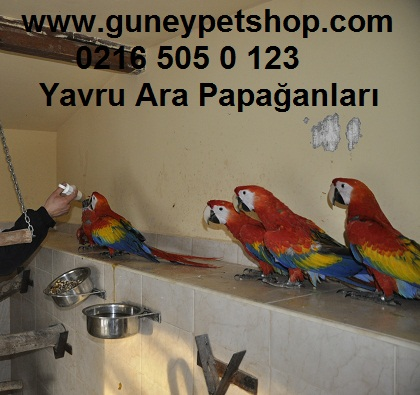 Üretim Yavru Scarlet Ara Papağanlarımız
