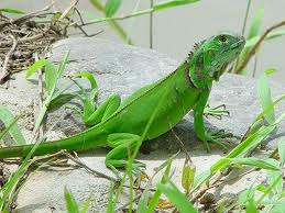 Yavru İguana